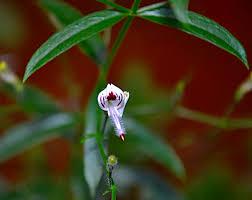 Andrographis paniculata (A. paniculata)